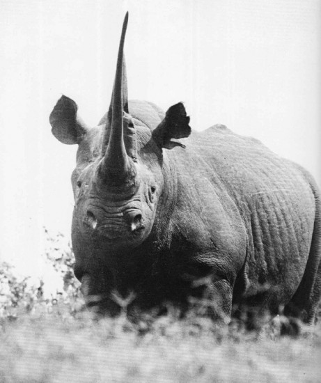 Black rhino with long horn