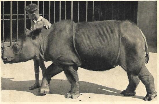 Basel 1959 Sumatran