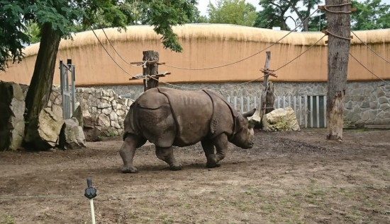 Indian rhinoceros at the Wroclaw Zoo (Poland)