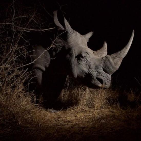 A white rhinoceros in the wild