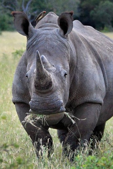 A grazing white rhinoceros
