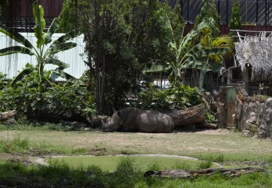 The Saigon Zoo & Botanical Garden white rhinoceros
