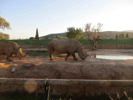 Athens Zoo white rhino 2018