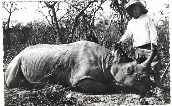 Black rhino in Cameroon