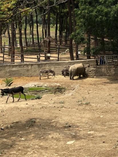 White rhino in Tbilisi