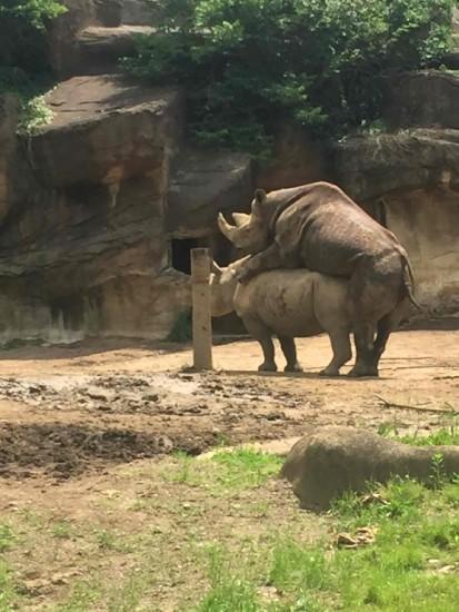 Black rhino in Cincinnati