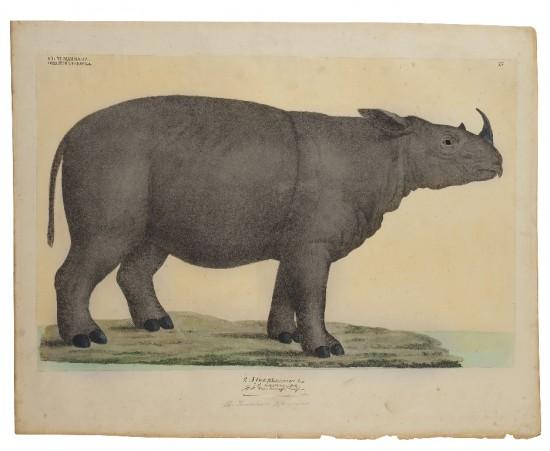 Goldfuss- Sumatra rhino