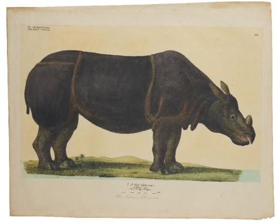 Goldfuss- Indian rhino