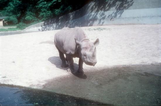 Munich 1961 Female black rhino