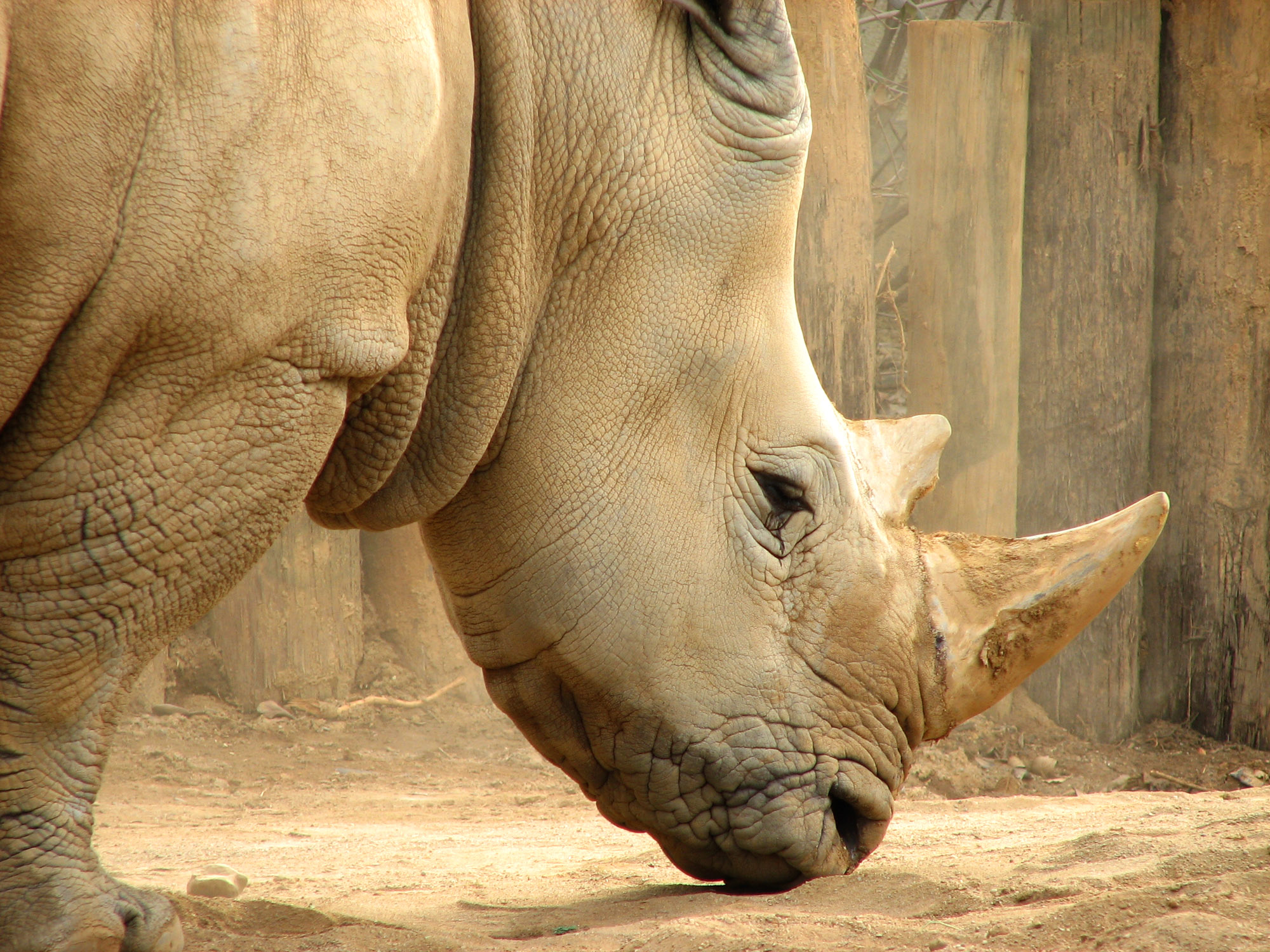 White-Rhino-Head.jpg