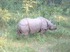 Indian Rhino Chitwan