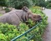 Indian Rhino Berlin