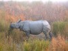 Indian Rhino; Assam