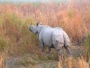 Indian Rhino, Assam