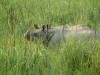 Indian Rhino, Chitwan