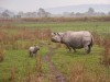 Indian Rhino, Kaziranga
