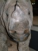 Sumatran Rhino Close up.