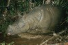 Javan Rhino camera trap