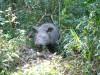 Sumatran Rhino Bina