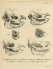 Skulls and dentition from Wagner