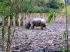 Chester Indian rhino