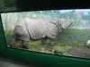 Indian rhino in museum.