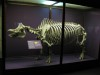 White rhino skeleton