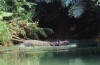 Javan rhino swimming
