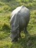 Indian rhinoceros browsing
