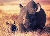 Black rhinoceroses on savannah