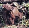 Rhinoceros sondaicus Desmarest, ...