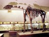 The Indricotherium skeleton (PIN RAS, Moscow)