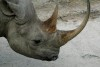 Black rhino head