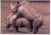 White rhino's love