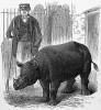 Black rhino in zoo