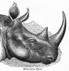 Rhinoceros head 1897