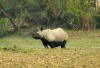 Two-toned rhino in Kaziranga