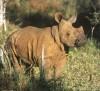 Swaziland young rhino
