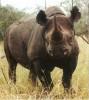 Africa black rhino