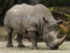 A white rhinoceros in an African...