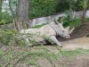 White rhino in Lesna